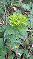 Euphorbia helioscopia, Santa Coloma de Farners 02.jpg