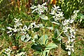 Euphorbia marginata Snow on the Mountain თეთრფოთოლა ეუფორბია.JPG
