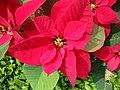 Euphorbia pulcherrima (3).JPG
