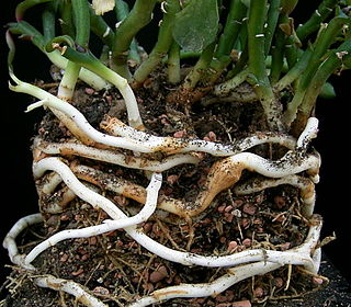 Rhizome modified subterranean stem of a plant