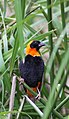 Euplectes orix -Pretoria, South Africa -male weaving nest-8 (5).jpg