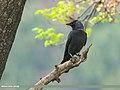Eurasian Jackdaw (Corvus monedula) (29749193978).jpg