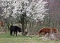 Exmoor-ponyer i Mols Bjerge 2020.jpg