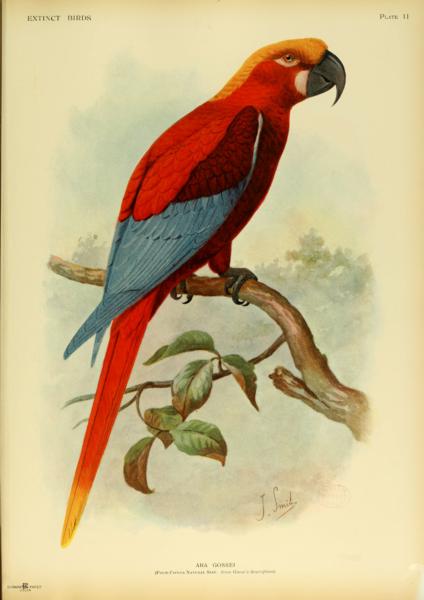 http://upload.wikimedia.org/wikipedia/commons/thumb/b/b1/Extinctbirds1907_P11_Ara_gossei0303.png/424px-Extinctbirds1907_P11_Ara_gossei0303.png