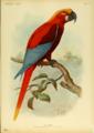 Extinctbirds1907 P11 Ara gossei0303.png