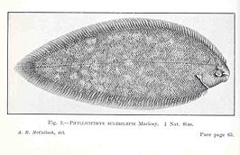 Phyllichthys sclerolepis