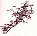 FMIB 45600 Phyllopteryx eques.jpeg
