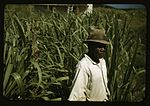 FSA borrower in a sugar-cane field 1a34014v.jpg