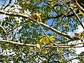 Fagales - Quercus robur - 003.jpg