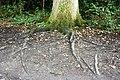 Fagales - Quercus robur - 2.jpg