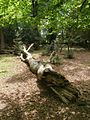 Fallen beech trunk, Closed Copse, New Forest - geograph.org.uk - 440511.jpg