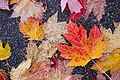Fallen maple leaves (6388032123).jpg