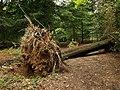 Fallen tree, Nagshead Plantation - geograph.org.uk - 965541.jpg