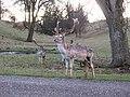 Fallow Buck, Studley Park - geograph.org.uk - 651658.jpg