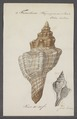 Fasciolaria trapezium - - Print - Iconographia Zoologica - Special Collections University of Amsterdam - UBAINV0274 084 03 0004.tif