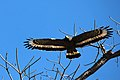 Feather structure of Crested Serpent Eagle.JPG