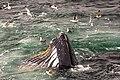 Feeding Humpback Whale, Gerlache Strait, Antarctic Peninsula (25881567972).jpg