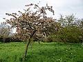 Feeringbury Manor flowering prunus, Feering Essex England 03.jpg