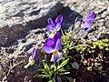 Femöre naturreservat Viola tricolor.jpg