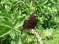 Female Crow eggfly wings ajar (5695926438).jpg