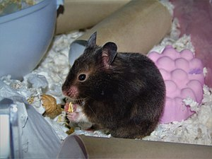 Syrian hamster variations - Female Solid Sable Syrian