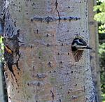 Female Yellow-bellied Sapsucker.jpg