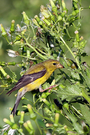 American goldfinch - Female American goldfinch