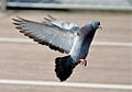 Feral pigeon about to land-8.jpg