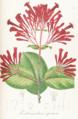 Ferdinandusa speciosa Pohl108-original.png