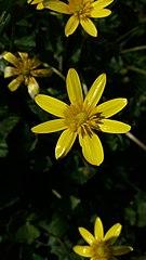 Ficaria-flower.jpg