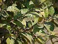 Ficus ¿ tinctoria ssp. parasitica ? (5493548851).jpg