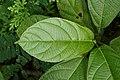 Ficus hispida 8352.jpg
