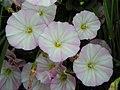 Field bindweed (Convolvulus arvensis) (28932250510).jpg