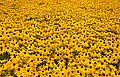 Field of yellow flowers (6080049195).jpg