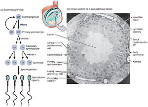 Spermatocyte - Figure 1. The process of spermatogenesis as the cells progress from spermatogium, to primary spermatocytes, to secondary spermatocytes, to spermatids and to Sperm.