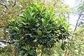 Filicium decipiens - Fern Tree at Theni (3).jpg