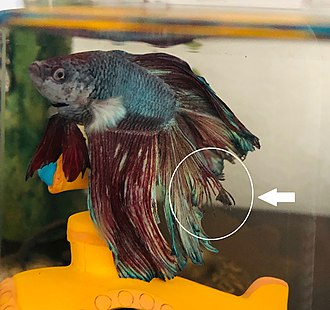 Fin rot - Example of fins fraying on a male betta fish.