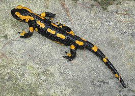 Fire salamander Germany 10 2014.jpg