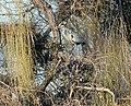 Fischreiher- Levin Park - panoramio (1).jpg