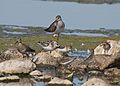 Five species of shorebirds (6048447238).jpg