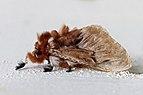 Flannel moth (Megalopyge sp.2) 2.jpg