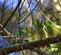 Flickr - Dario Sanches - SAÍ-ANDORINHA fêmea (Tersina viridis).jpg