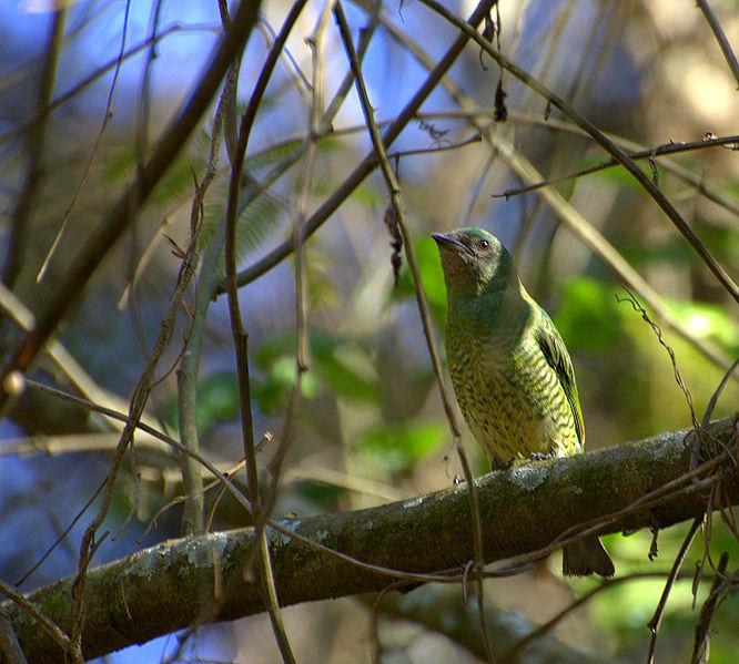 Ficheiro:Flickr - Dario Sanches - SAÍ-ANDORINHA fêmea (Tersina viridis).jpg