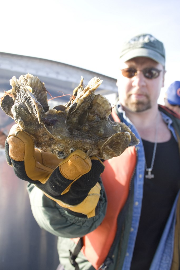 Flickr - The U.S. Army - Corps of Engineers restoring oysters in Chesapeake tributaries