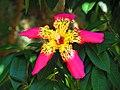 Flor de paineira - panoramio.jpg