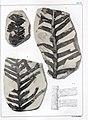 Flora fossilis formationis oolithicae = (Tab. XXIV) (7294215936).jpg