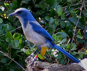 English: Florida Scrub Jay, Blue Springs State...