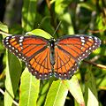 Florida Viceroy (4786514317).jpg