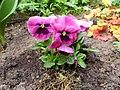 Flowers - (PL) Bratek (16992738470).jpg