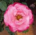 Flowers - Uncategorised Garden plants 283.JPG